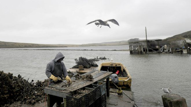 oyster worker