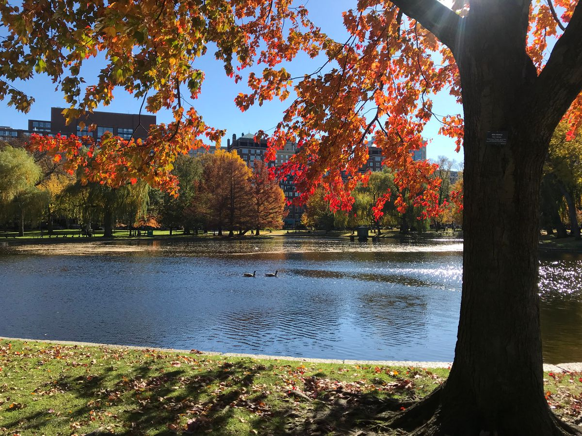 A tree full of leaves turning from green to red in Boston's Public Garden as two ducks swim in a lake behind the tree.