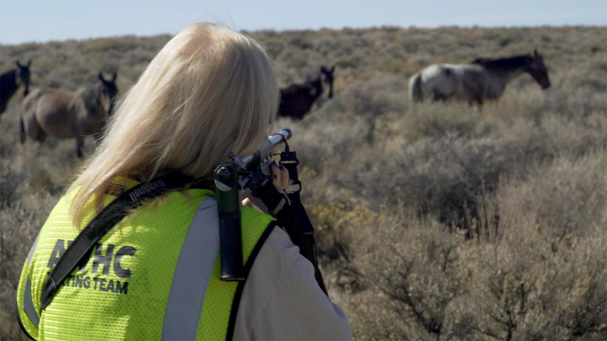 Volunteers with the American Wild Horse Campaign dart wild horses of the Virginia Range near Reno, Nevada, to administer a fertility control vaccineto reduce pregnanciesamong the mares. The program started in 2019 and so far has treated more than 1,300 horses with 3,000-plus doses — the largest such effort in the world.