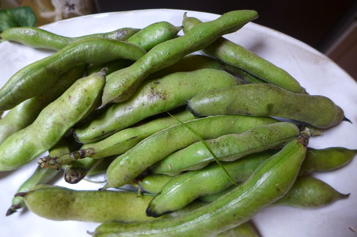 Green fava beans in their pods.
