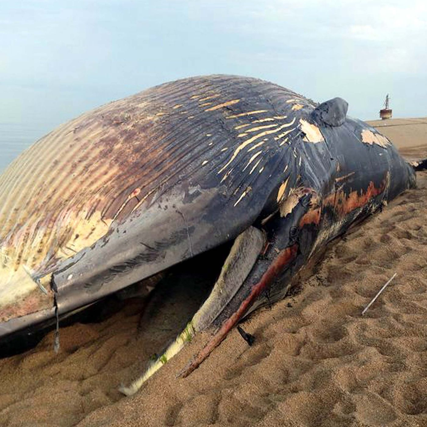 Why Do Dead Whales Explode The Verge