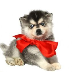 """<a href=""""http://www.vogue.com/guides/holiday-gift-guide-gifts-for-over-500/"""">Mini Husky Alaskan Klee Kai puppy</a>, $1,800 to $2,500. Don't stare too long or you'll wake up 12 hours from now with four of these little nuggets at your doorstep, crying over"""