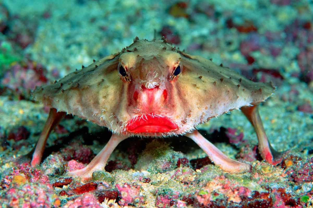 Image result for red lipped batfish