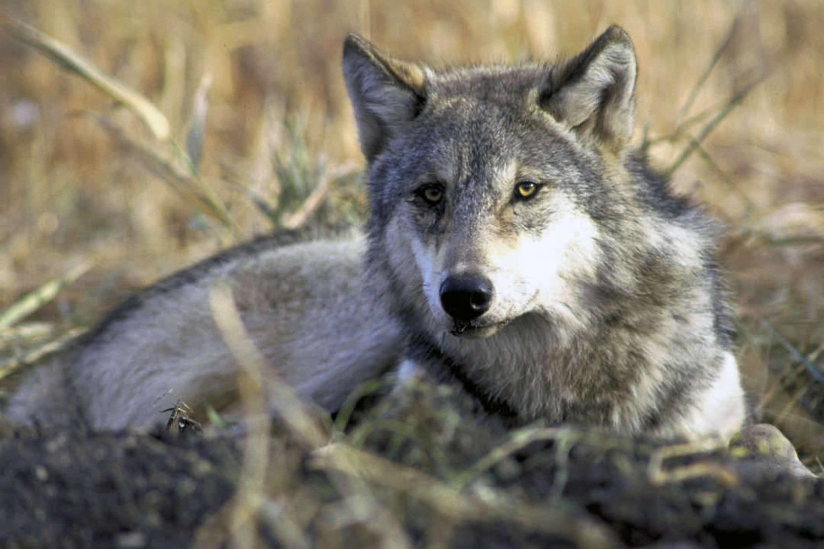 Wildlife officials have confirmed the first gray wolf in northern Arizona in more than 70 years.