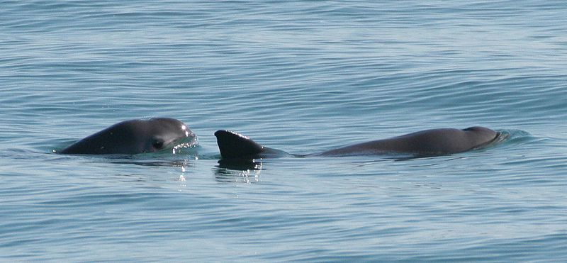 Vaquita population drops below 30 as US Navy dolphins race to save ...