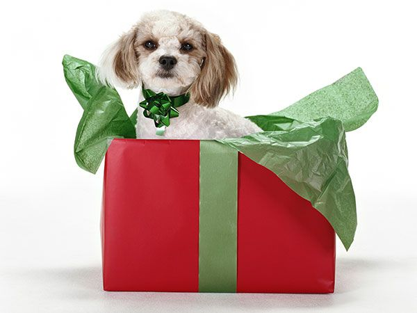 A dog in a Christmas present box with a bow for a collar.