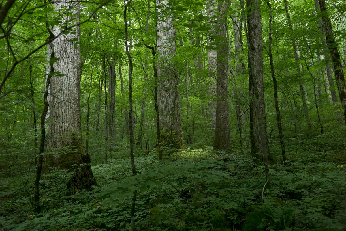 A stand of old growth trees provides shade to a verdant forest floor; sunlight filtering the leaves gives the image a emerald green glow.