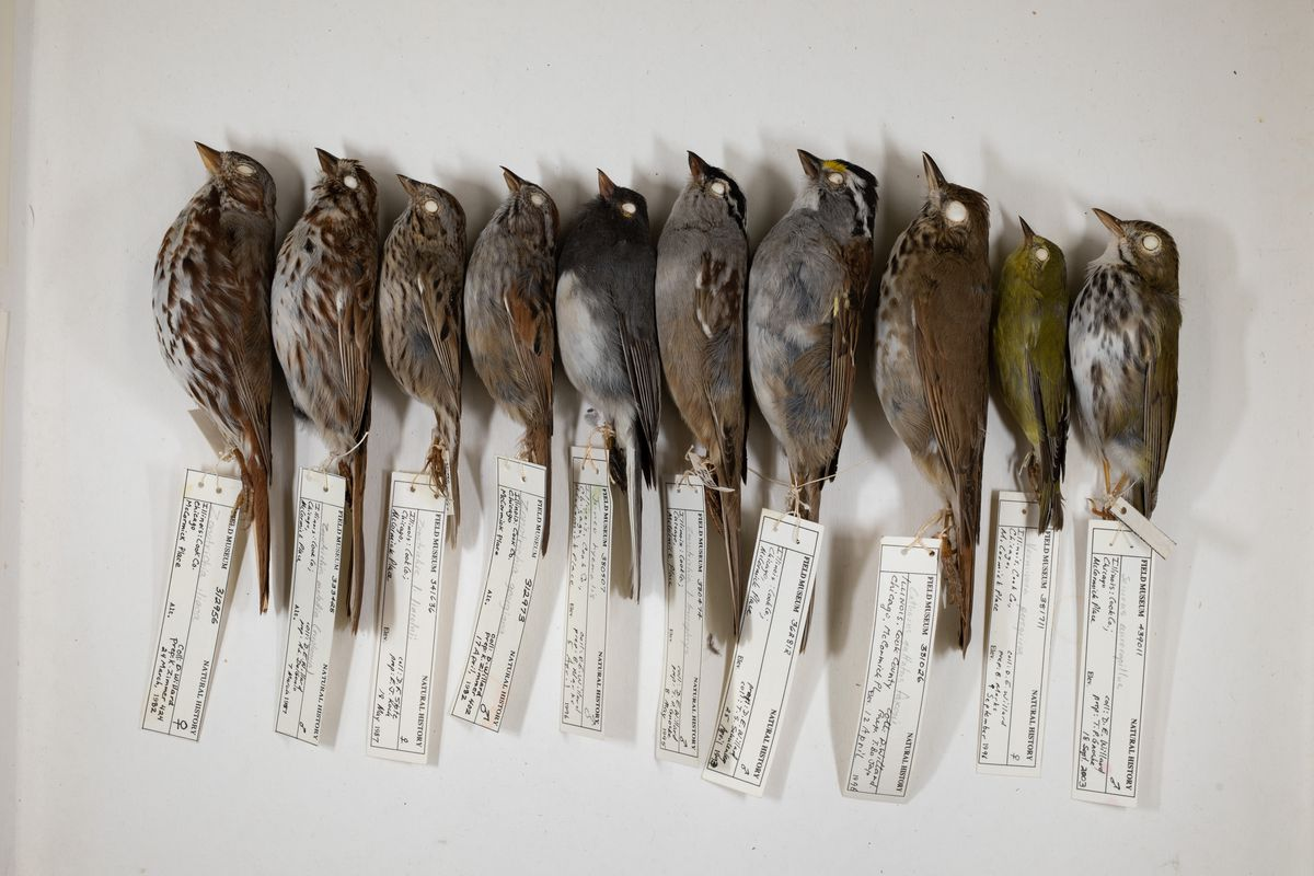 A row of dead birds with identification tags.