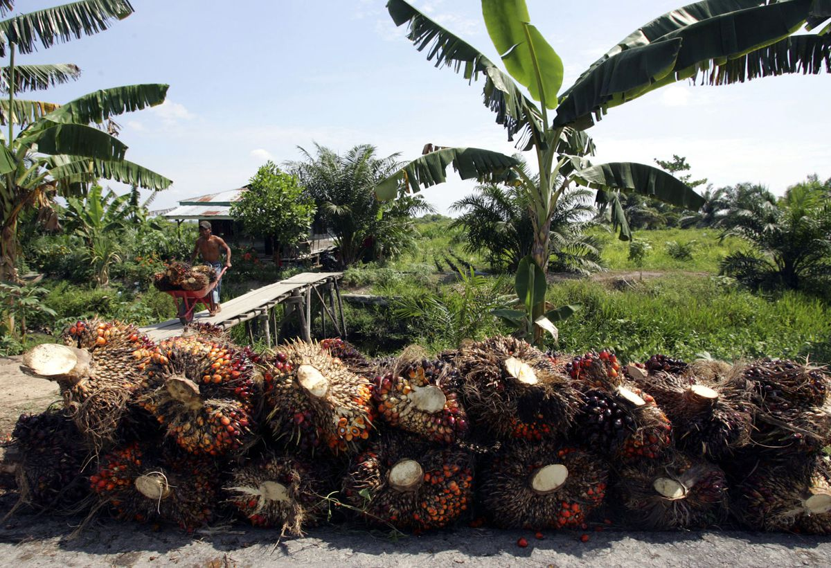 Seeds of palm oil are harvested at a plantation in Rokan Hilir