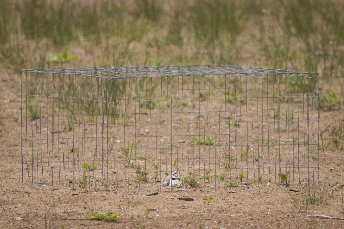 Monty, a piping plover, sits on the eggs in a wired enclosure put up by U.S. Fish and Wildlife Services to protect the nest from predators.