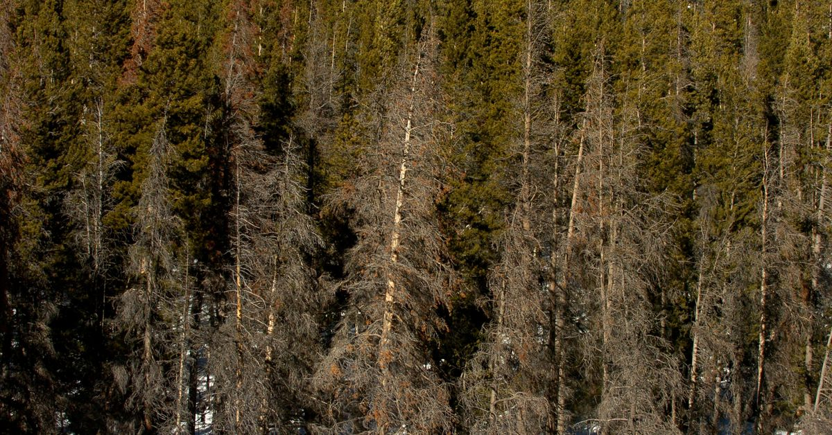 Wildfires tear through Colorado's beetle-bitten forests