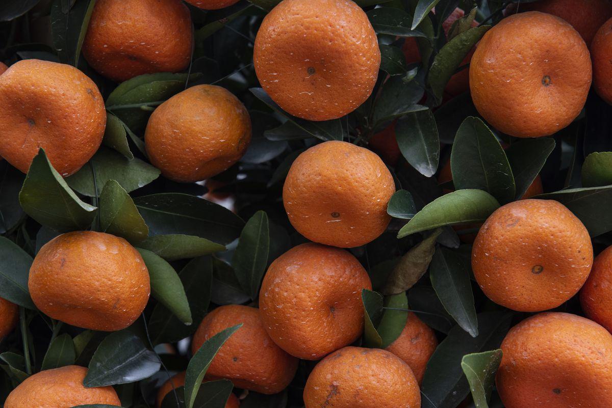 Mandarin fruits grow abundant on a tree.