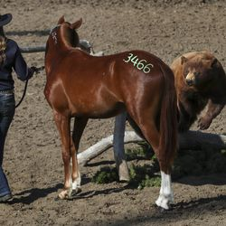 Olivia Simmons walks her mustang, Milo, around a stuffed bear as they compete in the 2019 Youth and Military Mustang Trail Challenge at the Days of '47 Arena at the Utah State Fairpark in Salt Lake City on Saturday, Sept. 7, 2019. The Bureau of Land Management and Utah 4-H have partnered for the challenge where youth and veterans choose a wild mustang and have approximately 100 days to turn it into a gentle, adoptable equine companion.