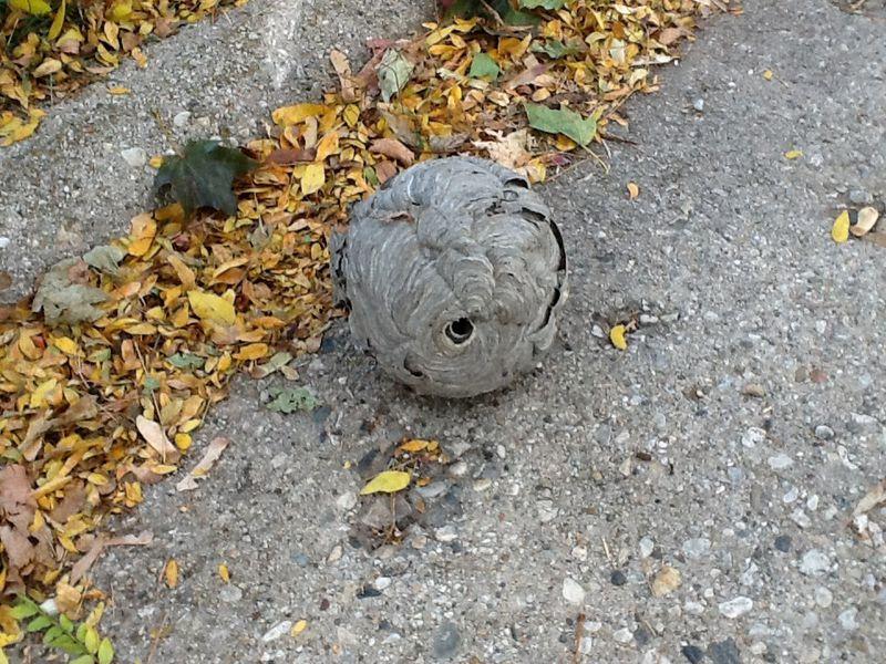 Fallen hornet's nest. Photo provided by Joseph Dillmann