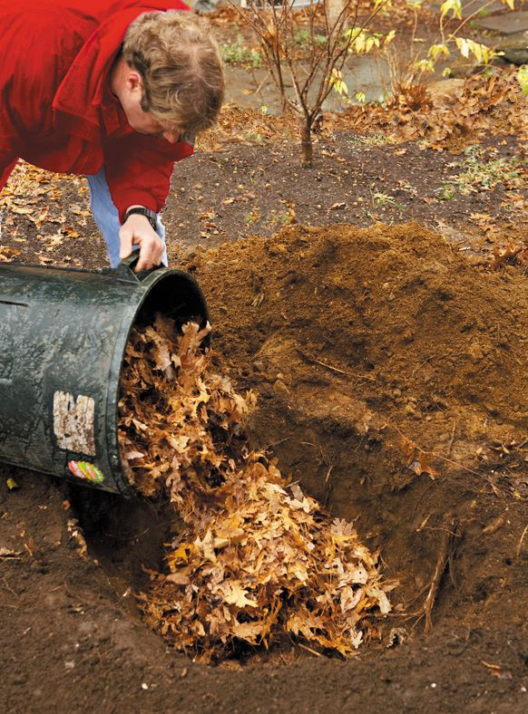 Person backfills the hole with leaves to prepare to plant the live Christmas tree.