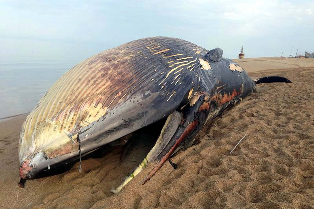 Why do dead whales explode? - The Verge