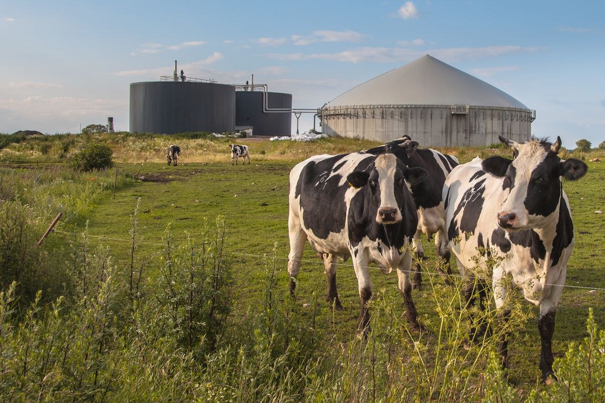 Cows standing in front of large spherical tanks in a field.