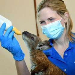 Maggie Chardell, a lead animal care specialist for the Chicago Zoological Society, feeds Whitney, a Bennett's wallaby born at Brookfield Zoo on November 12, 2020. The young wallaby is being handreared by animal care staff because her mom required medical treatment. Out of an abundance of caution, veterinary staff determined it was in the best interest of both animals to remove the joey from the pouch.