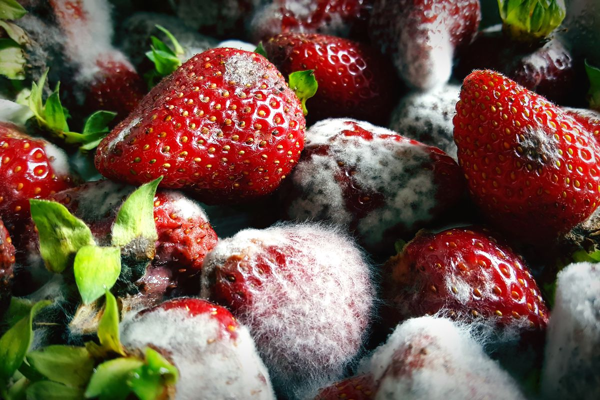 Close-up photo of strawberries, many of them covered in white-grey mold.
