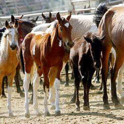 A group of new horses watches Friday at the Extreme Mustang Makeover Competition in Herriman. In the competition, 34 horse trainers from multiple states pick up a preselected wild horse to be trained over the course of the next 90 days.
