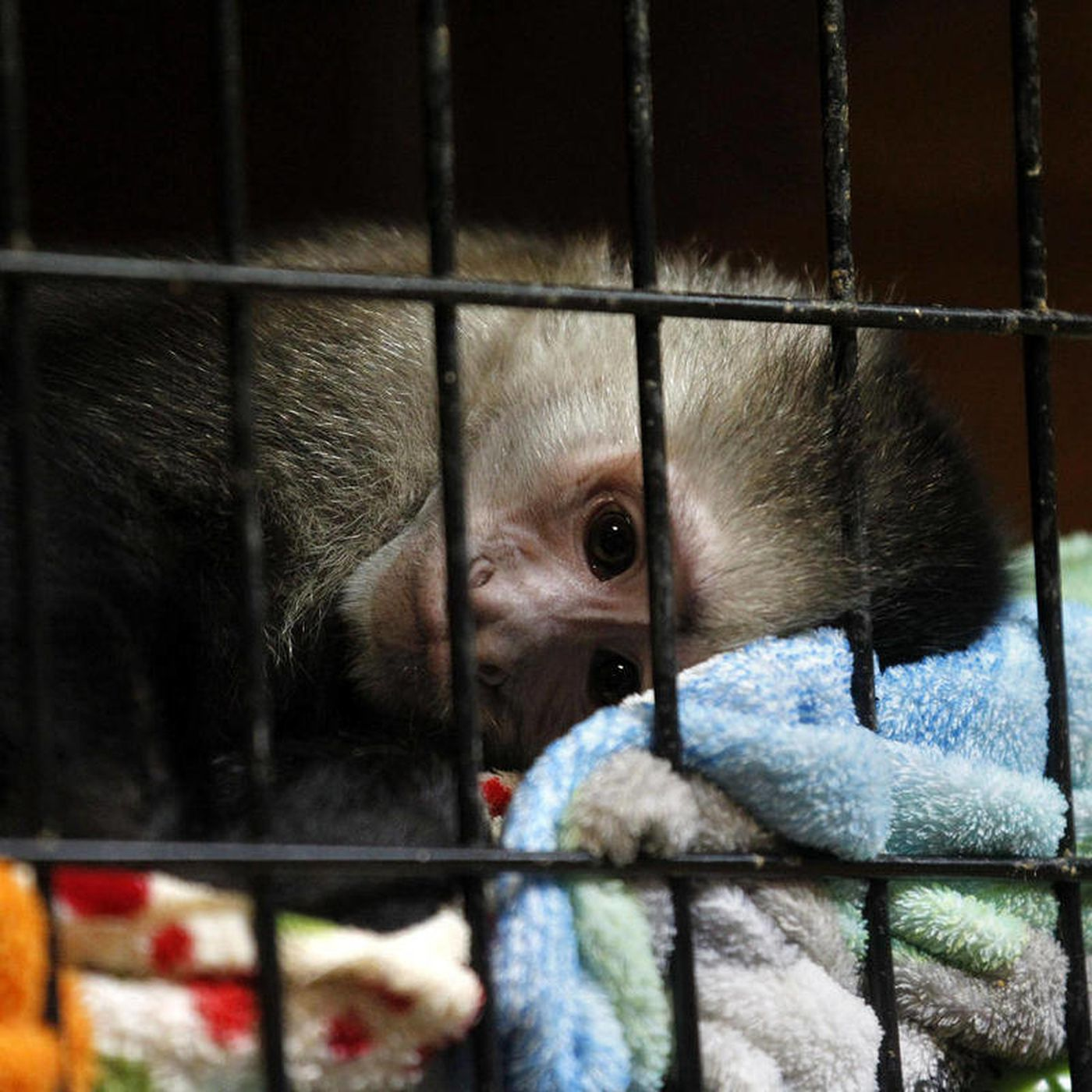 AP Enterprise: Monkey owners flee La. crackdown - Deseret News