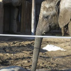 Zuri, 7, is seen in her enclosure at Hogle Zoo in Salt Lake City on Tuesday, Jan. 17, 2017. Researchers have drawn blood from many elephants in an attempt to better understand why elephants do not get cancer.