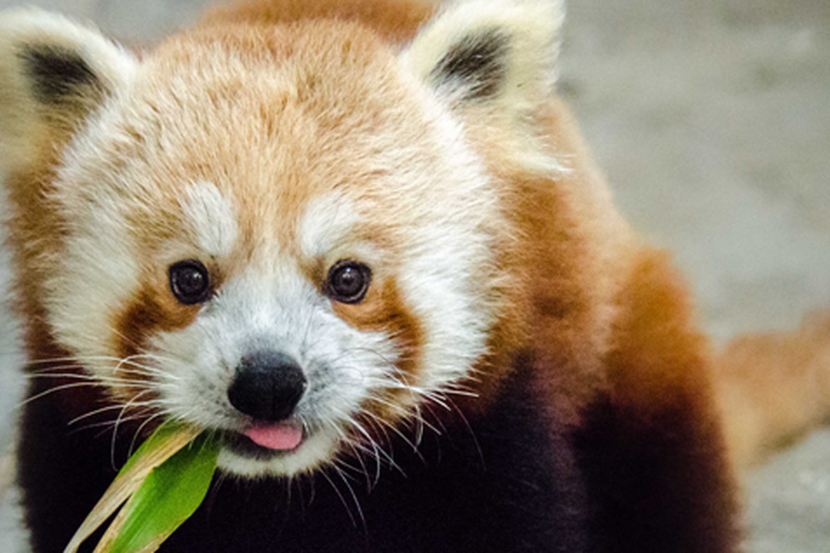 """Image: <a href=""""http://www.sfzoo.org/explore/animals/mammals/red-panda.htm"""">S.F. Zoo</a>"""
