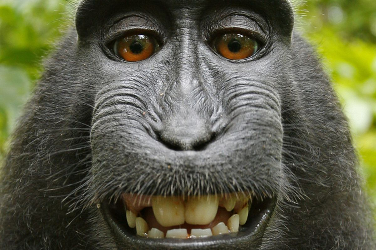 The monkey selfie lawsuit lives the verge peta and the photographer settled last year but the ninth circuit will be issuing a ruling anyway voltagebd Choice Image