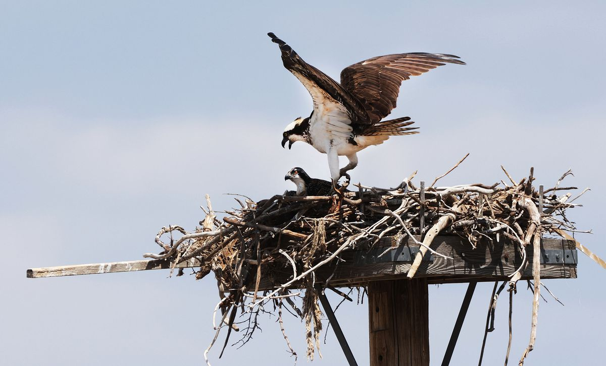An osprey protects its young in a nest near the dam at Jordanelle Reservoir on Friday, July 16, 2021.  The water level is low due to drought.