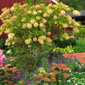 <p>Annual pruning is the key to coaxing a peegee hydrangea into a small tree that bears prolific flowers. Here, it is combined with lower-growing perennials.</p>