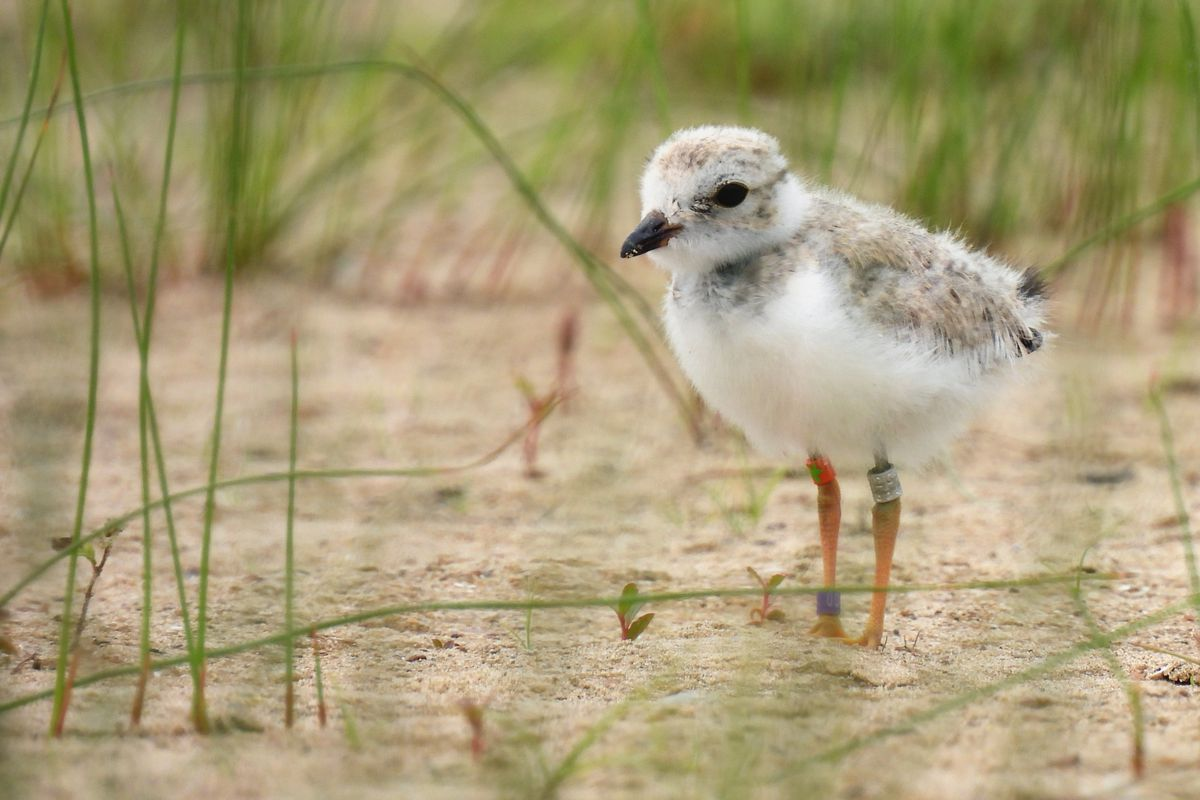 A piping plover chick stands in the sand of Montrose Beach.
