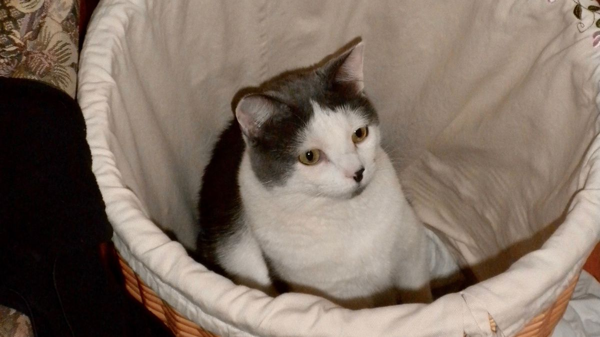 Gizmo the cat in a linen basket.