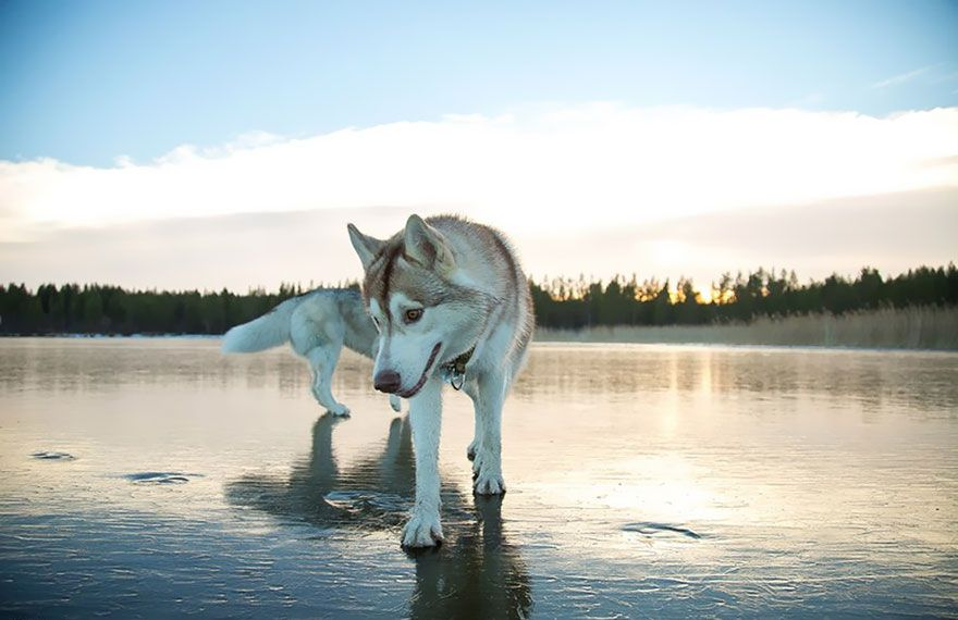 Siberian Huskies Are Even More Majestic When Photographed