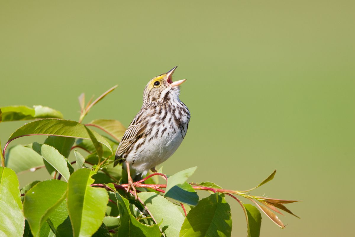 A Savannah Sparrow on a tree branch with its beak open to sing.
