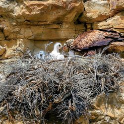 A golden eagle feeds its chick in a nest in central Wyoming.