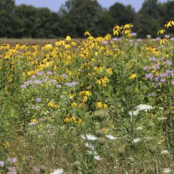 In this July 10, 2018 photo, native prairie flowers Jim Barker has planted on his farm bloom in  McLeansboro, Ill.   Les Winkeler/The Southern, via AP