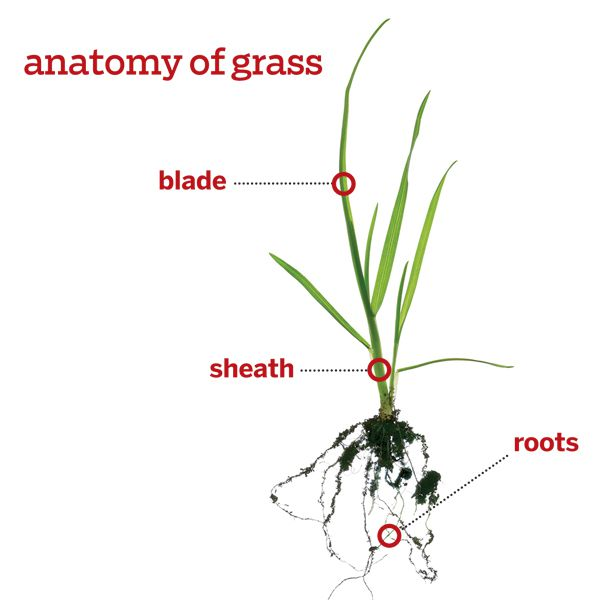 Anatomy of grass<br>Each 1,000 square feet of healthy lawn contains about a million plants.<br>Blade<br>Makes food from sunlight. Cut off no more than one-third at a time.<br>Sheath<br> Protects and supports the base of the blade.<br>Roots<br>Gather nutrients and water from the soil. Help them grow deeper by leaving the blades at least 3 inches long.