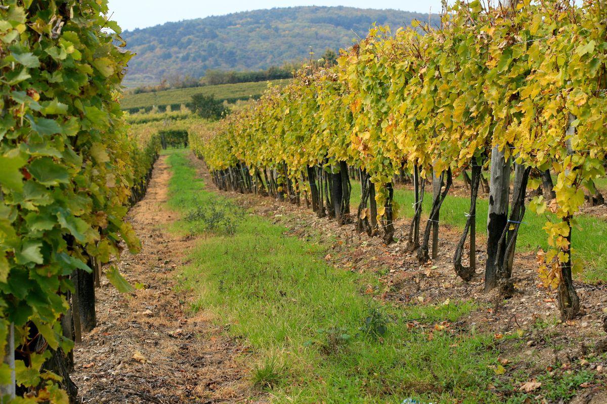 Vineyard Tokaj Hungary