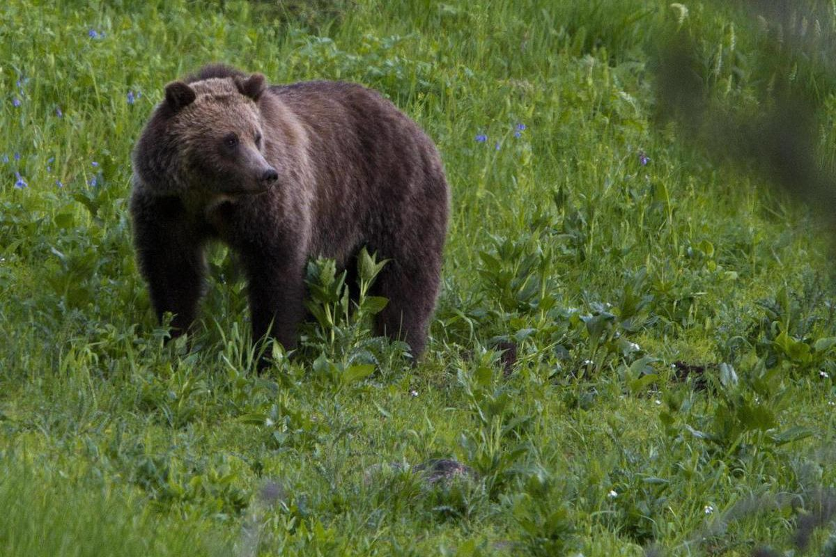 FILE - This July 6, 2011 file photo shows a grizzly bear roaming near Beaver Lake in Yellowstone National Park, Wyo. Wildilfe officials say it will be another three years before they try to take grizzly bears in the Yellowstone area off the endangered spe