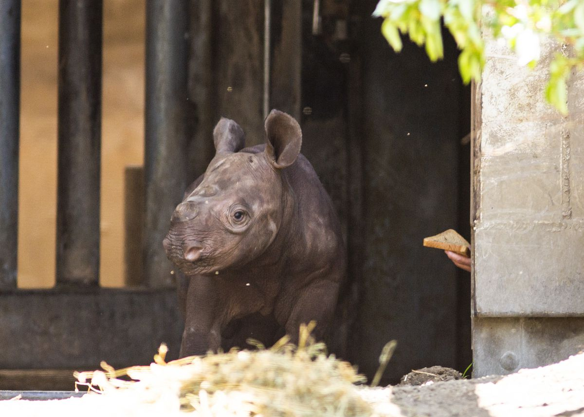 A Lincoln Park Zoo staffer uses bread in an attempt to coax an eastern black rhinoceros calf, born on May 19, to his outdoor habitat for the first time, Tuesday morning, June 18, 2019.