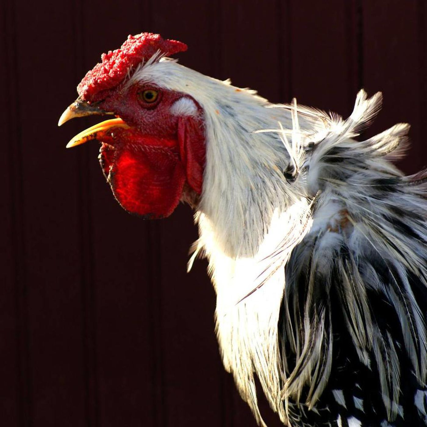 The downside of raising backyard chickens - Deseret News