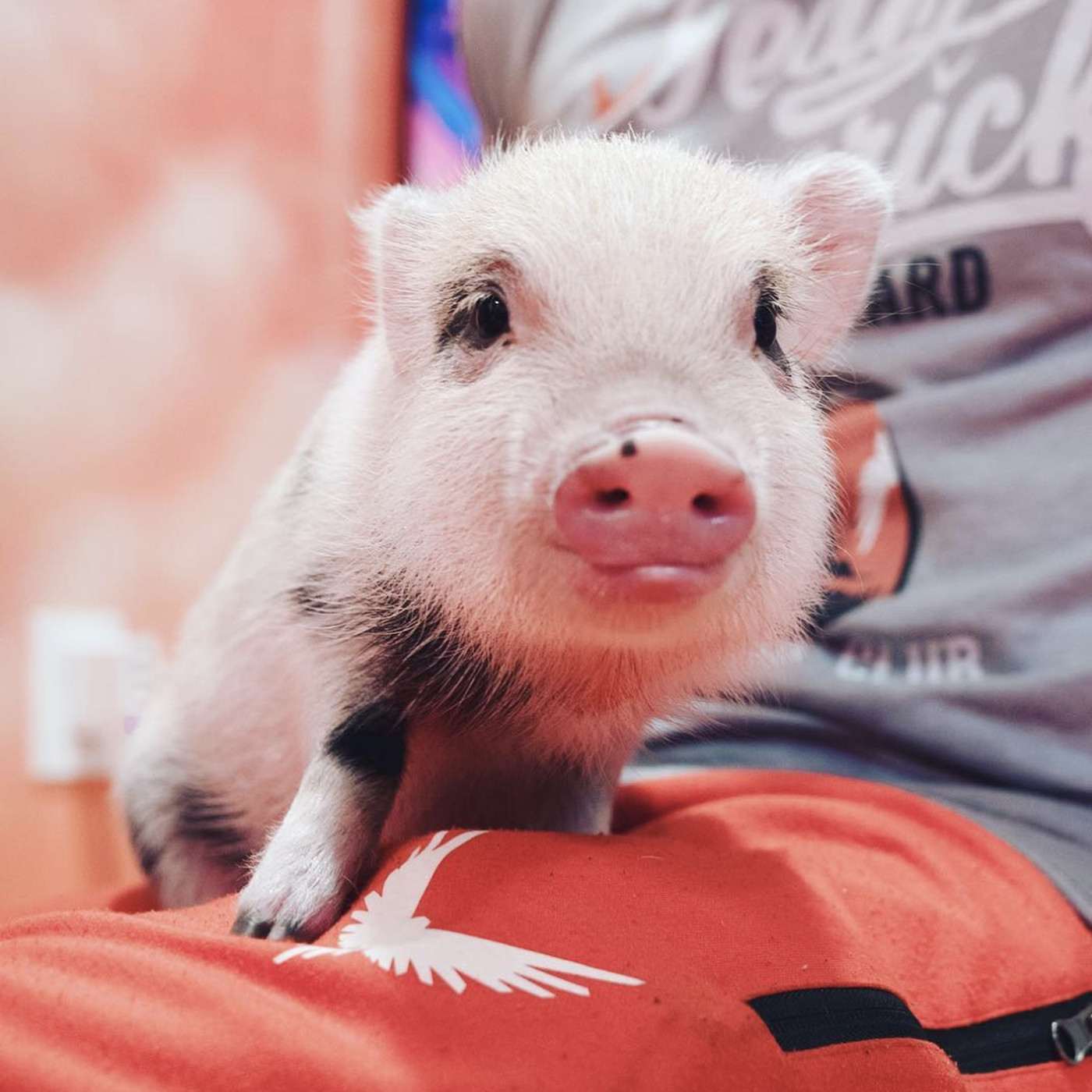 Teacup pigs are popular on YouTube and Instagram once again, but be