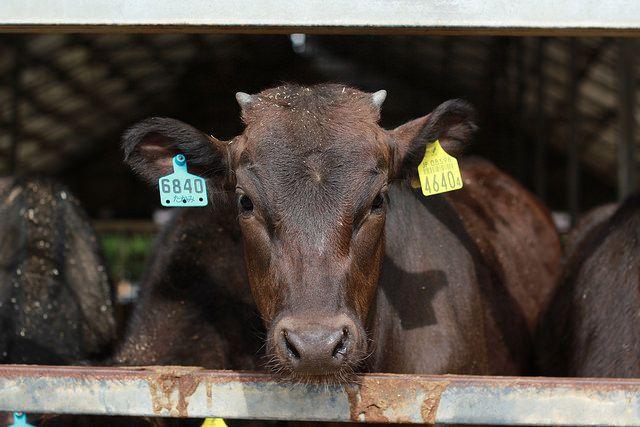 Kobe Cow Flickr