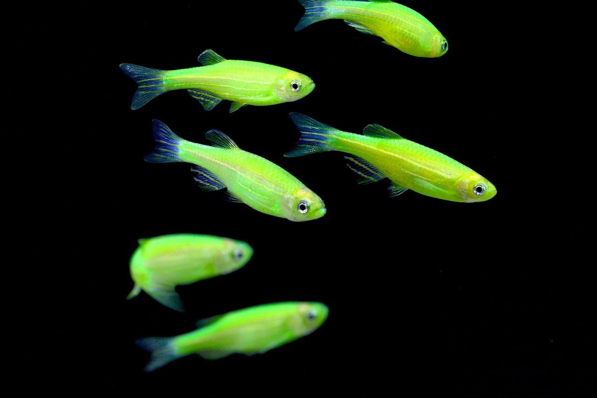 GloFish zebrafish