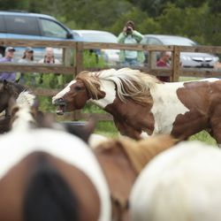 A wild pony from the southern herd chases after other ponies in a rest pen on Assateague Island, Va., after being gathered and given a vet check before its swim to Chincoteague Island on Tuesday, July 23, 2019.