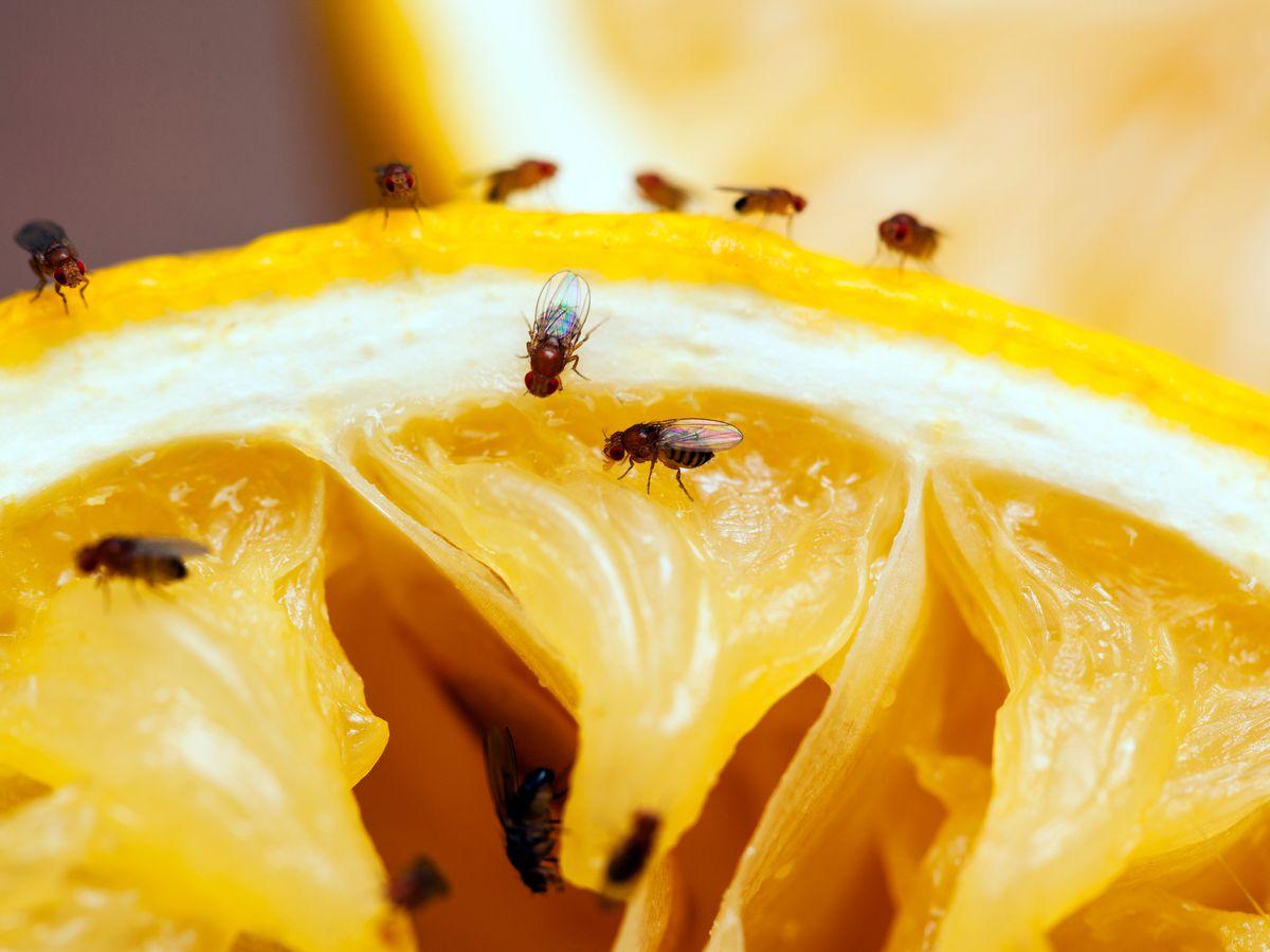 Fruit flies on a lemon.