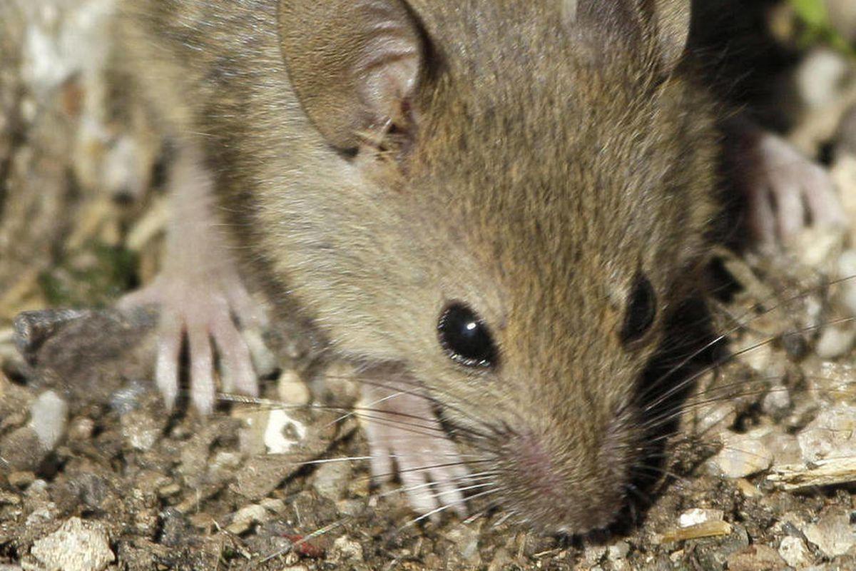 Australian mouse plague 2021: How'd it happen? When did it ...