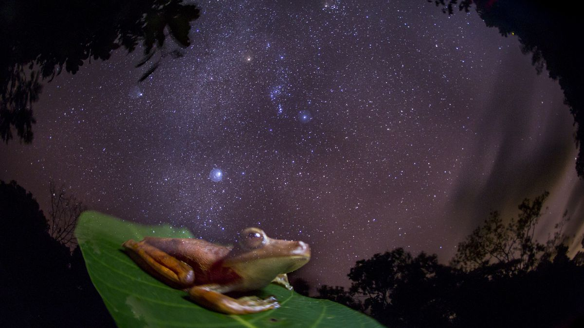 An Amazon gladiator frog in Panama. The image was shot at night with a 30-second exposure, giving the frog a ghostly appearance.