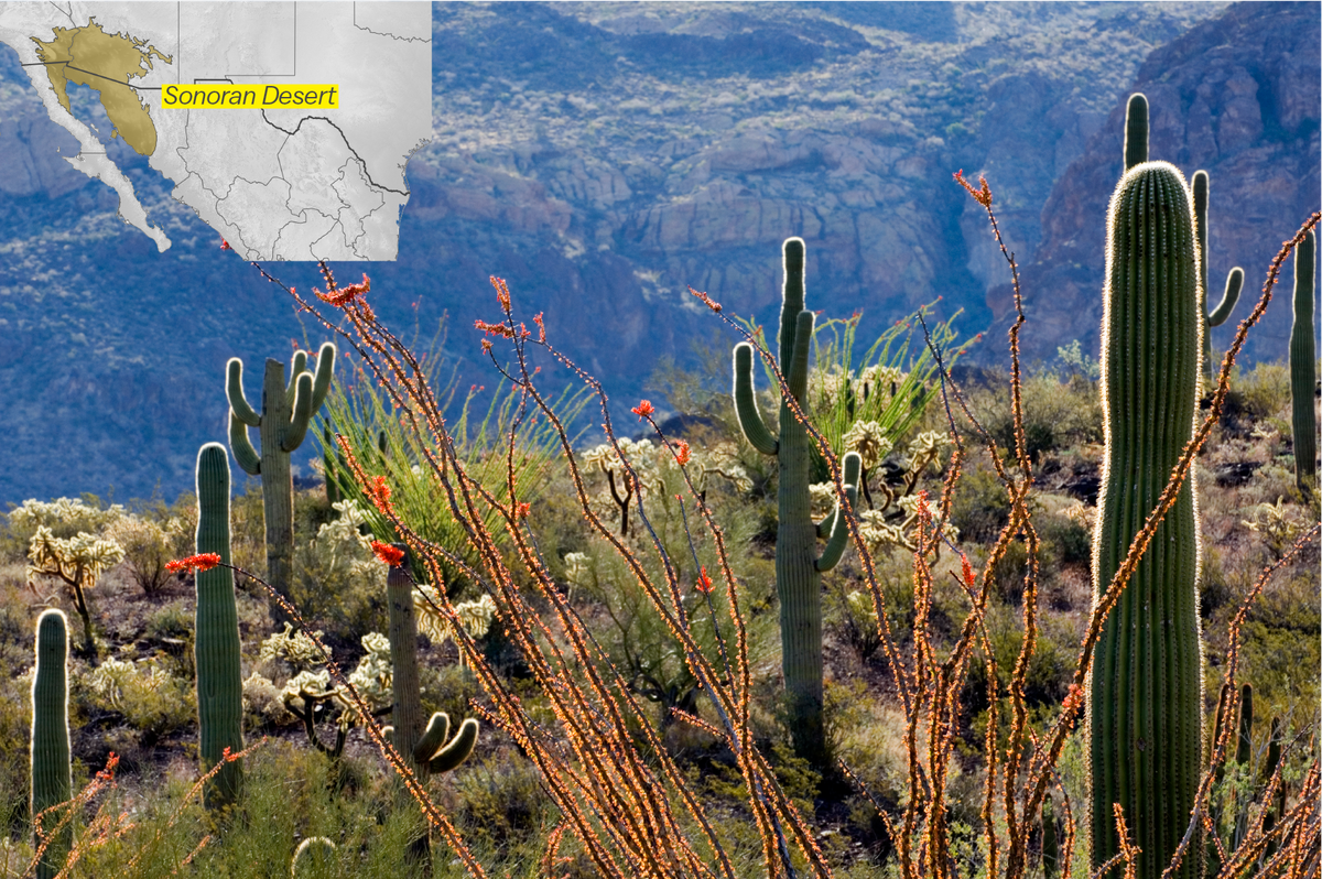 Photo of saguaro cacti in bloom in the Organ Pipe Cactus National Monument park.