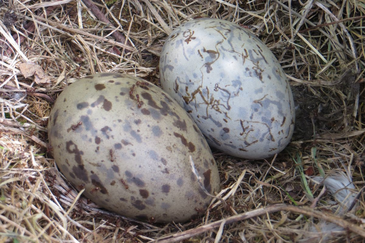 Egg shape depends on flying skills of bird